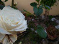 Rosa Immarcescibile